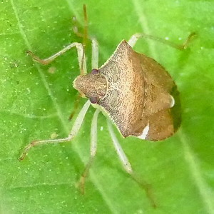 P183EuschistusQuadrator696 Aug. 15, 2019  8:58 a.m.  P1830696 Euschistus quadrator is our smallest species in that genus.  Native Tx to Honduras, it has become a cotton and soybean pest across the south, outcompeting other stinkbugs.  Pentatomid.