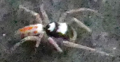 P183MaeviaPoultoni617 Aug. 15, 2019  7:22 a.m.  P1830617 This Maevia poultoni was about eight feet away on a wall behind the barn at LBJ WC.  Salticid.