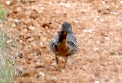 P179SageThrasher032 Mar. 7, 2019 7:53 a.m. P179032 Here is a Sage Thrasher, Oreoscoptes montanus, near the little cave behind the HQ offices at LBJ WC. A dozen hand-held distance shots made the ID slow but it didn't seem likely to be a baby mockingbird, and though I thought of Sage Thrasher, I sent the pics to WS who independently picked Sage Thrasher. Yay!! Thanks, Gavilan. Mimid.