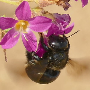 P175XylocopaMicans-SCarpBee528 July 19, 2018  9:40 a.m.  P1750528 The Southern Carpenter Bee, Xylocopa micans, is shiny black except for a few small white spots on the side of the rear part of the abdomen.  Apid.