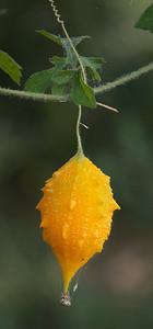 Mazatlán December 2012  Riper seed pod