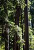 Three Pines in Summer