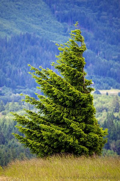 A windblown sapling douglas fir tree (Pseudotsuga menziesii var. menziesii) stands on a hillside above the Corvallis valley.