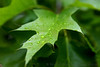Water Droplets, Maple Leaf