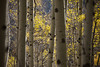 A grove of aspens glow in the late afternoon light close to Kebler Pass near Crested Butte, Colorado.
