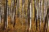 Golden Aspen Forest