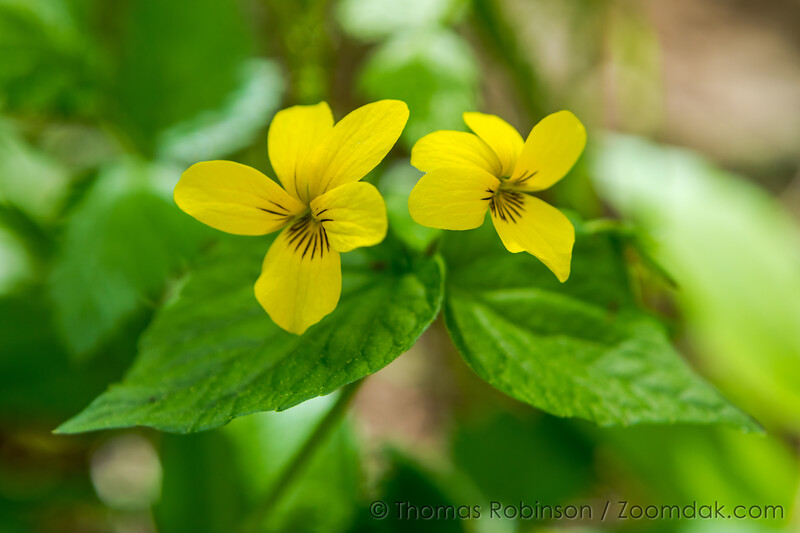Pair of Evergreen Violets