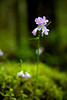 Small Pink Flower, Corvallis, Oregon
