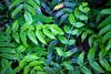 A patchwork of Oregon Grape (Mahonia aquifolium) grows over the forest floor.