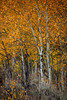 The orange fall color in the Grand Teton National Park shines forth on a grove in a grove of aspen trees.