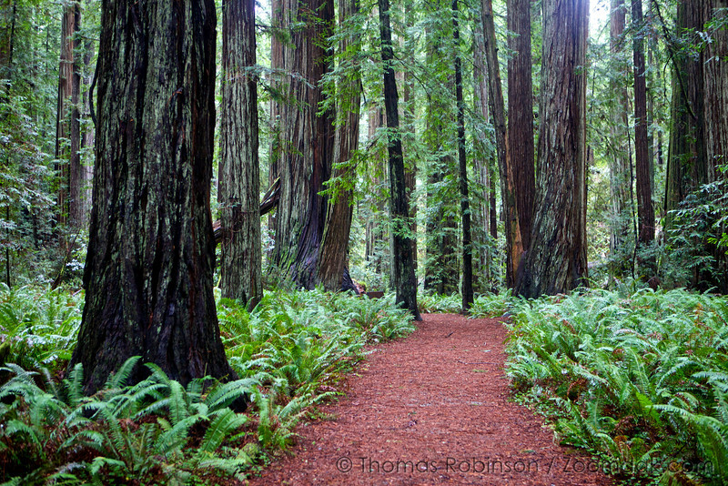 The redwoods trail weaves through the Stout Grove in Jedediah Smith Redwoods State Park.