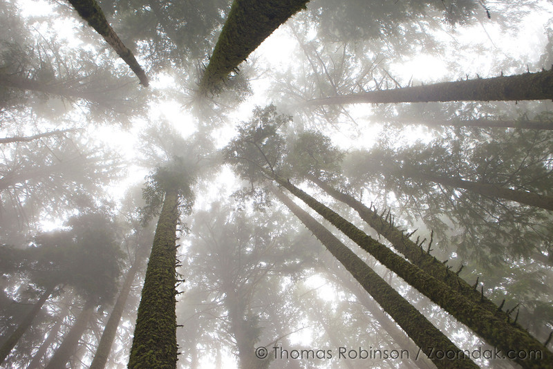 Mist blows through the trees tops on Mt. Neahkahnie, creating an ephemeral effect.