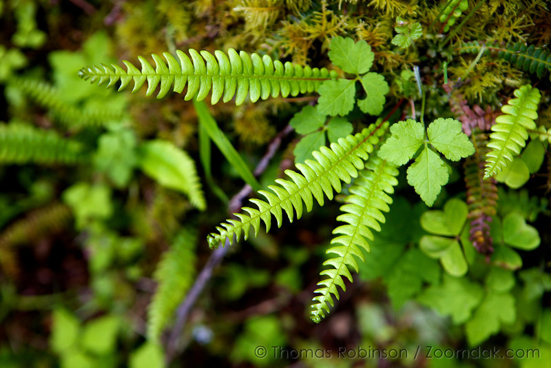 A new bloom of licorice fern (Polypodium glycyrrhiza) sprouts from the moss along the canyon trail at Silver Falls State Park. Licorice ferns get their name from its licorece flovered roots.