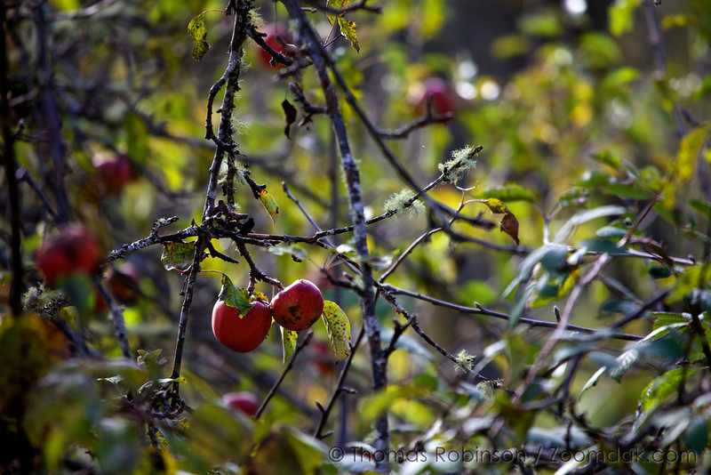 A pair of red apples hang upon an apple tree in Corvallis, Oregon.