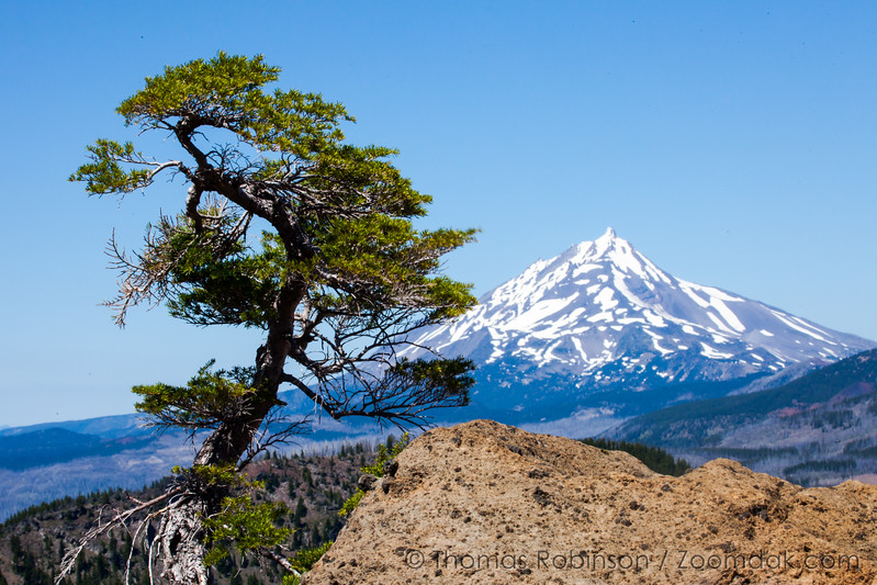 Scrub Pine and Mt. Jefferson