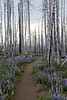 Forest Fire Lupin Lined Trail