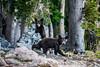 Teton Black Bear Cubs
