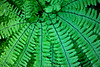 A five-fingered fern (Adiantum hispidulum) also known as Maidenhair Fern with beautiful strands and patterns.