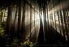 Always Hope - Golden Forest Beams