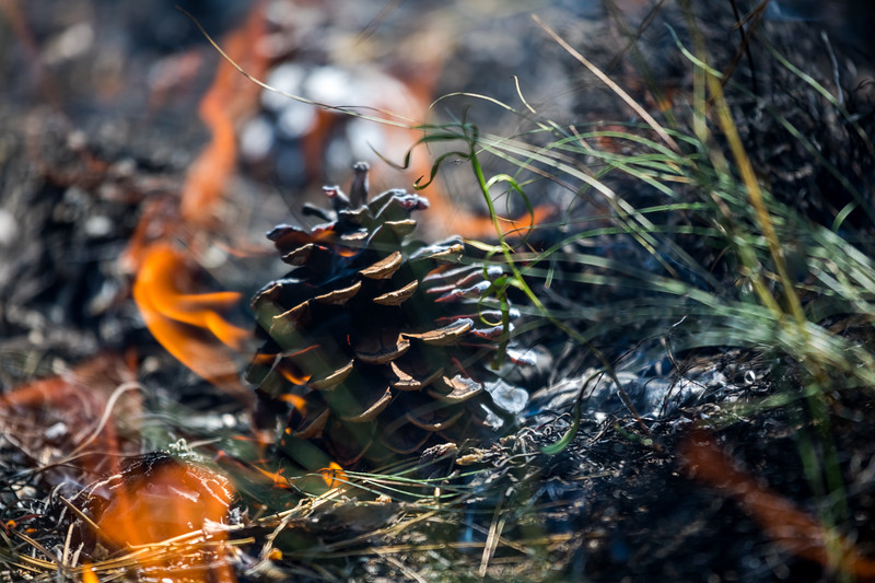 Burning Pinecone
