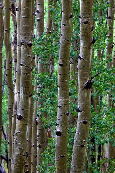 A young quaking aspen (Populus tremuloides) sprouts up among the elder aspen around it.