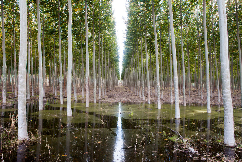 Tree Rows Reflected
