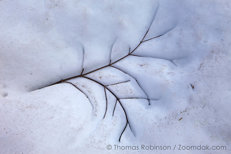 A tree branch imprints itself slowly into the snow making a beautiful tree footprint.