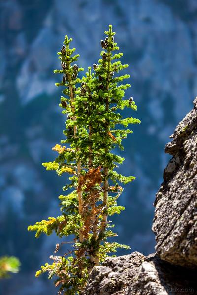 Intrepid Pine