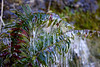 A Sword Fern (Polystichum munitum) bends under the weight of the frozen ice encasing it.