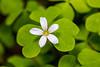 Oregon Oxalis Bloom