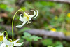 White Oregon Fawn Lily