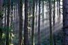 Light Thru the Trees