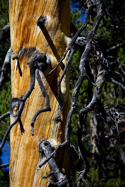 Gnarled Tree Charred