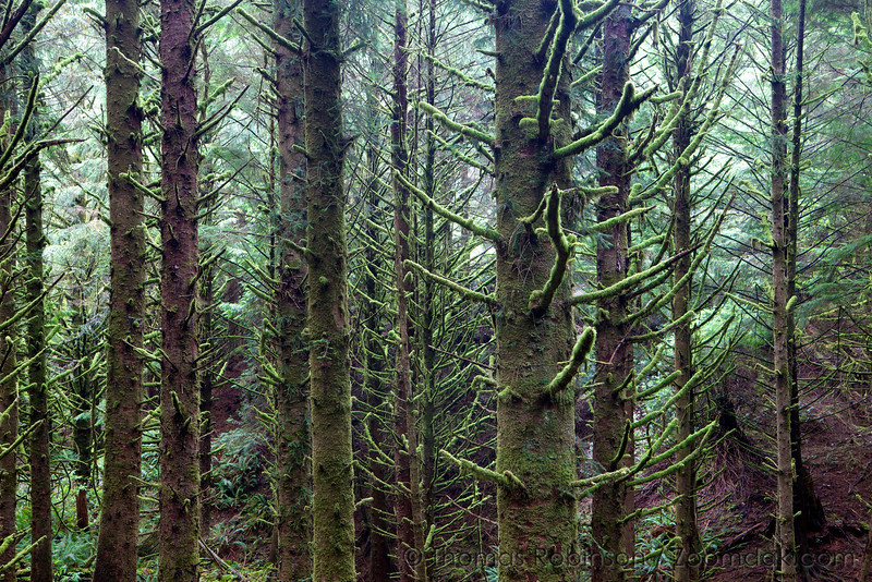 The mossy green forest above Cannon Beach, Oregon.