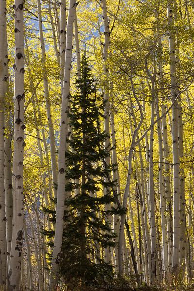 A ponderosa pine tree (pinus ponderosa) grows up through a grove of aspen trees along Kebler Pass in Colorado.
