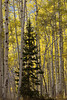 A ponderosa pine tree (pinus ponderosa) grows up through a grove of aspen trees along Kebler Pass in Colorado.