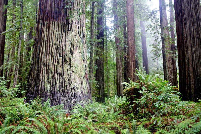 The Stout Tree - Redwoods National Park