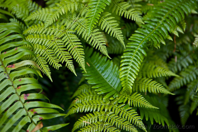 A variety of ferns - Sword Fern (Polystichum munitum), Lady Fern (Athyrium felix-femina)  and Deer Fern (Blechnum spicant) grow wild in the moist forest of Cape Lookout State Park.