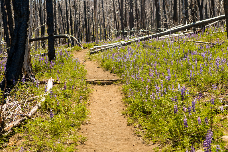 Lupin Lined Trail