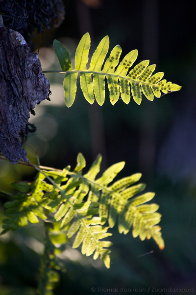 Backlit deer fern (Blechnum spicant) grow out out of a tree along the Tennant Lake Boardwalk Trail at Hovander Park in Bellingham, Washington.