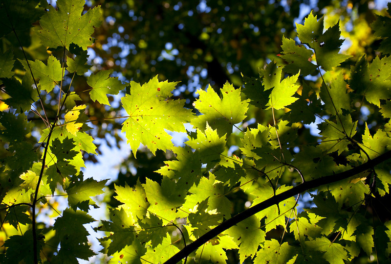 Speckled Maple leaves against the sun.