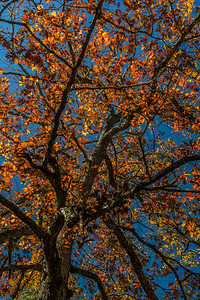 Fall Tree 01 - Wayah Bald, NC