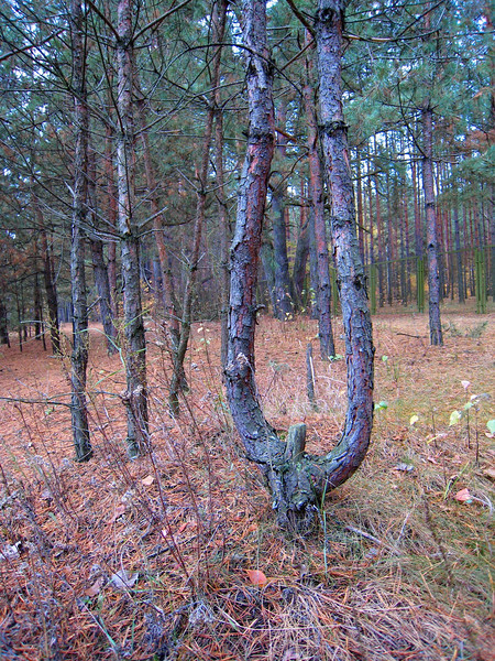 Lyre tree in Kyiv pine forest