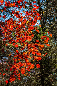 Fall Leaves NC