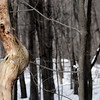 Stark trees and one twisted trunk in the winter snows.