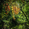 Dangling autumn vines in thick green woods.