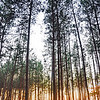 Kyiv, Ukraine - forest near Irpen in fall - tall pines at sunset