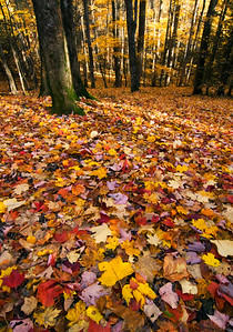 Fall leaves on the forest floor, near Cades Cove, Great Smoky Mountains.