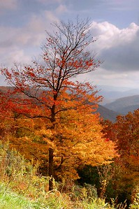 An orange fall tree along the Blue Ridge Parkway, western North Carolina.