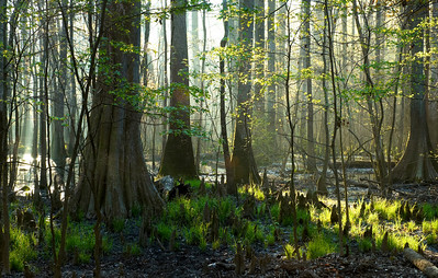 Cypress trees in the Congaree National Forest near Columbia, SC.
